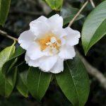 mg_4381_camellia_reticulata_white_retic